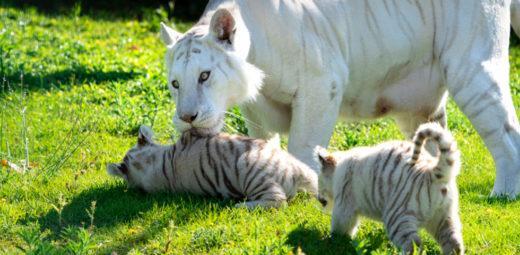Sendaviva tigres blancos